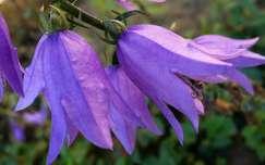 harangvirág, kék, nyár, magyarország