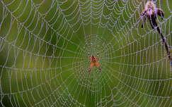 pókháló vízcsepp vadvirág pók