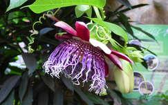 Nyíregyházi Állatpark, trópusi virág