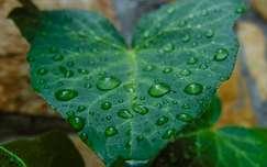 levél vízcsepp örökzöld borostyán