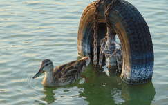 vizimadár kacsa