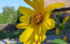 csicsóka virága rovar