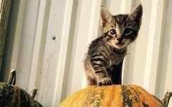 macska állatkölyök ősz tök