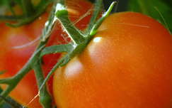 zöldség paradicsom