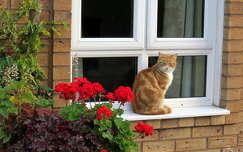 macska muskátli ablak