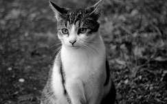Macska, fekete-fehér