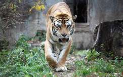 nagymacska tigris