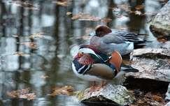 ősz vizimadár kacsa