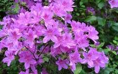 Virágzó rododendron, Jeli Arborétum