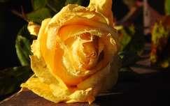 jégvirágos rózsa