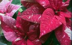 Mikulás virág,karácsony advent
