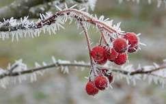 tél, zúzmara, piros, bogyó, magyarország