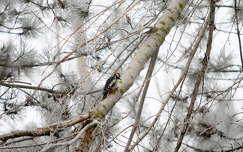 madár harkály tél zúzmara