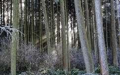 fény erdő tél zúzmara