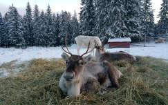 Rénszarvas, Lappföld, tél