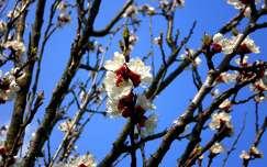 Tavasz, barackfavirág