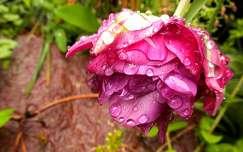 vízcsepp rózsa
