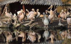 Budapesti pelikánok