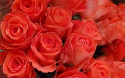 Rózsák. Fotó: Csonki