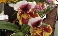 Orquídea Sapatinho - Arujá - Brasil