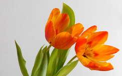 tulipán, virág, tavasz, magyarország