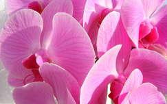 orchidea trópusi virág