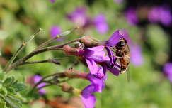 méh vadvirág rovar