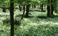 Medvehagyma-virágzás a Mecsekben