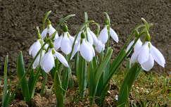 hóvirág, tavasz, magyarország