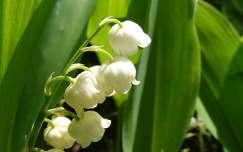 tavaszi virág gyöngyvirág