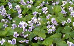 tavaszi virág ibolya vadvirág