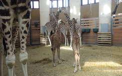 Budapesti Állatkert zsiráf újszülöttei