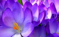 vadvirág krókusz tavaszi virág tavasz