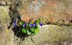 vadvirág, ibolya, szikla, tavasz, magyarország