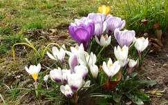 tavasz krókusz tavaszi virág vadvirág