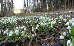 tavaszi virág virágmező vadvirág tavasz erdő tőzike