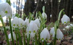 tavasz tavaszi virág vadvirág tőzike erdő