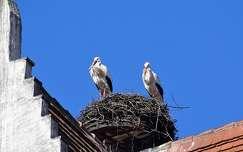 madár gólya tavasz
