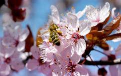 Tavasz, méh, pollen