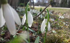 tavaszi virág hóvirág vadvirág tavasz