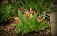Korai tulipánok