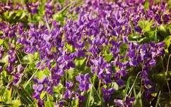 tavasz tavaszi virág ibolya vadvirág
