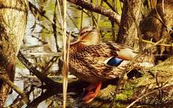 kacsa vizimadár