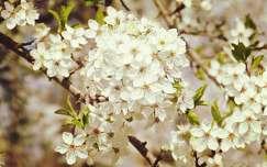 tavasz gyümölcsfavirág