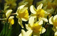 tavasz tavaszi virág nárcisz fény