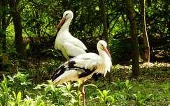 vizimadár gólya tavasz