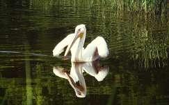 pelikán vizimadár tükröződés