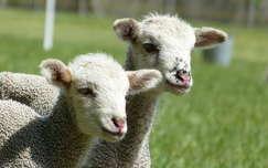 háziállat bárány juh állatkölyök