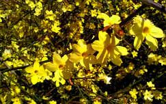 tavaszi virág, jázmin, magyarország