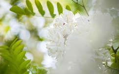 Tavasz, akácfavirág, bokeh